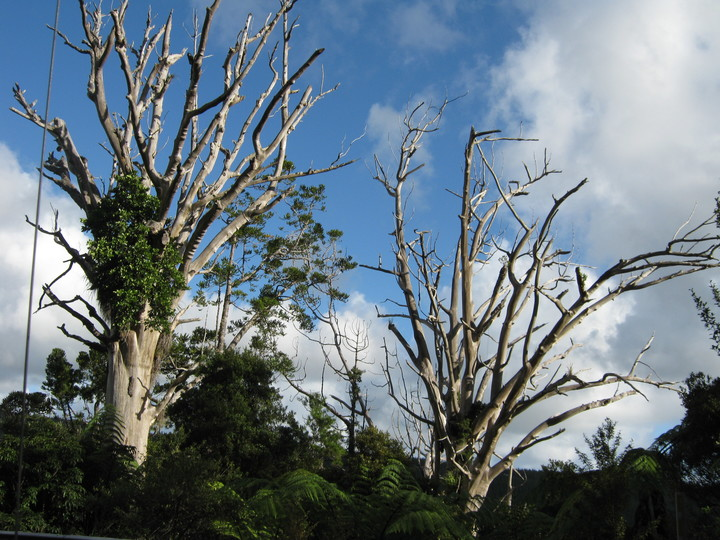 Dead kauri trees, infected with kauri dieback, at Trounson Kauri Park
