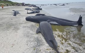 Some of the whales that are stranded on Farewell Spit.