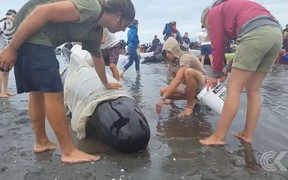 Nearly 100 whales still alive after mass stranding at Farewell Spit: RNZ Checkpoint