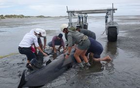 Hundreds of volunteers turned out to help with efforts to refloat the whales.