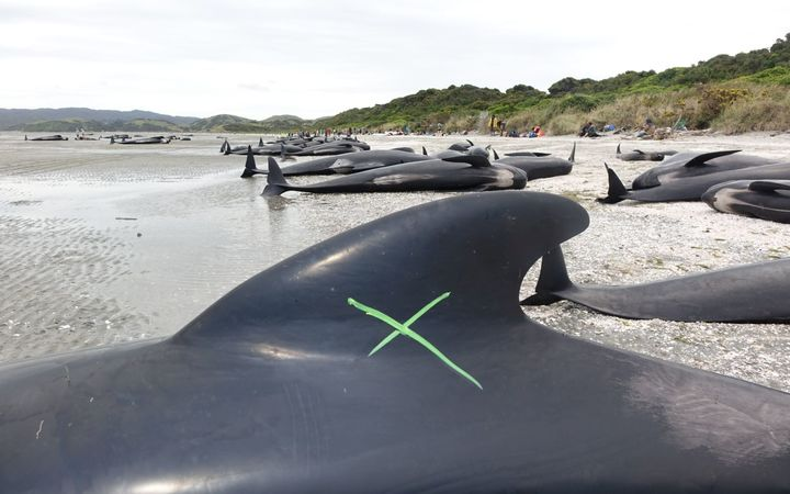 Dozens of whales were unable to be saved.