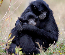 Two of Orana Wildlife Park's Siamang Gibbon apes.