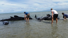 More whales have restranded near Farewell Spit.