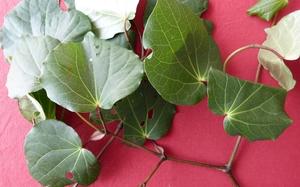 The leaves of the kawakawa plant have a long history of medicinal use.