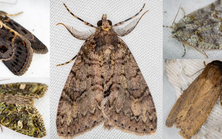 Five species of macro moths collected in late summer at Zealandia sanctuary as part of the 100 Year Moth project.