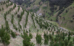 Young radiata pine trees grow on a hillside near Tiraumea, north of Masterton
