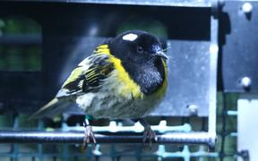 Hihi at a sparkling clean feeder