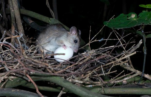 Jesse Mulligan's rat trapping 101 | RNZ
