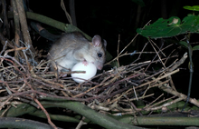 Ship rat with a large egg in a kereru nest