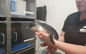 A little blue penguin at the Central Energy Trust Wildbase Recovery facility in Palmerston North
