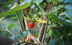 Tomatoes growing on a vine.