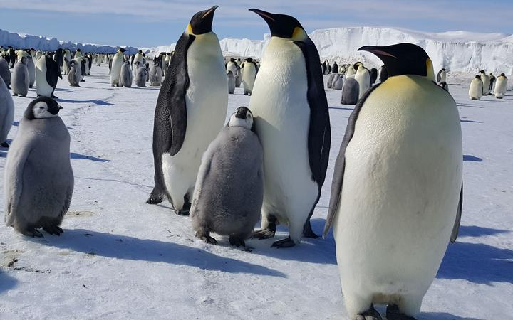 Emperor penguins at Cape Crozier on Ross Island. The photo was taken in mid November when the chicks were about half-grown.