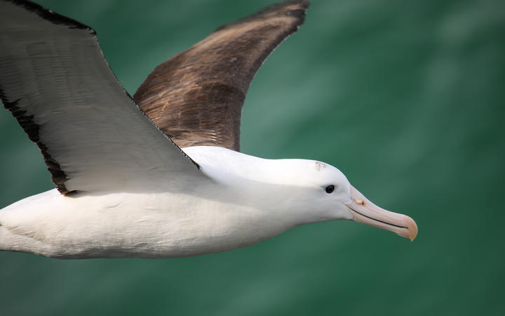 Close view of Northern royal albatross in flight, Taiaroa Head, Otago Peninsula.