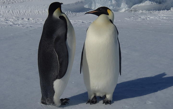 Young Emperor penguins that haven't begun breeding are curious wanderers, interested in checking out their environment.