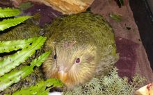 A few kākāpō chicks had to be taken off their island sanctuaries to be hand-reared at a Department of Conservation facility in Invercargill.
