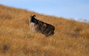 Bull himalayan tahr, hemitragus jemlahicus, in the high country in New Zealand.