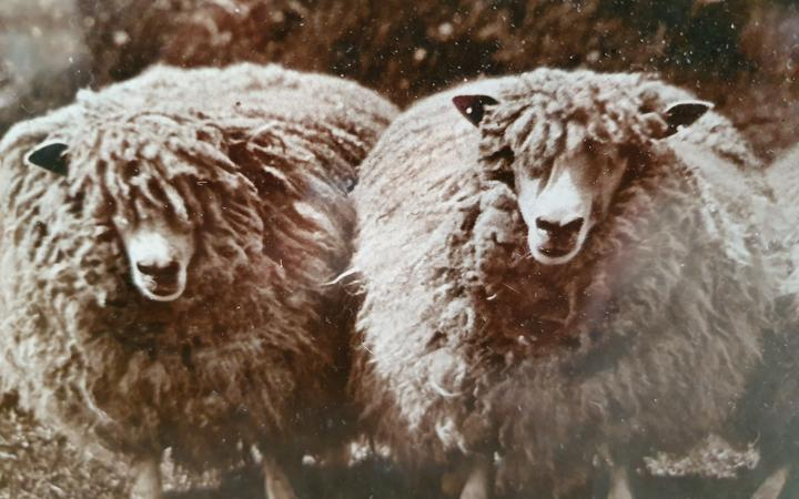 Historic photo of prize-winning English Leicesters bred by Ravenswood