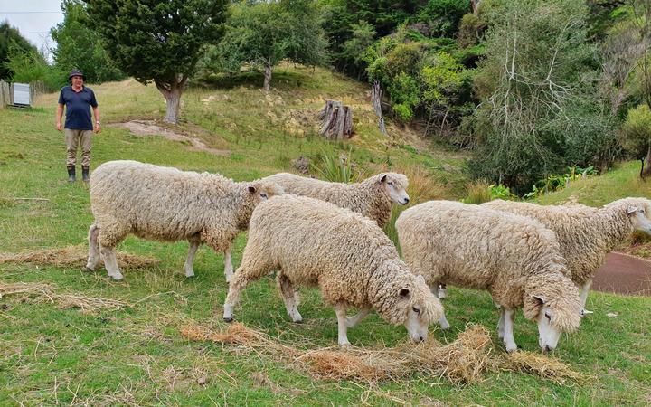 The Ravenswood flock at Paekakariki Hill
