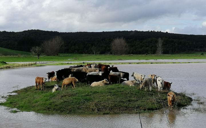 Cows escaping flood waters on Waihue Road in Dargaville.