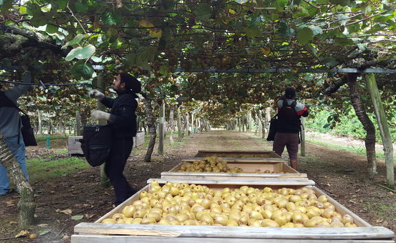 Physical distancing in kiwifruit orchard