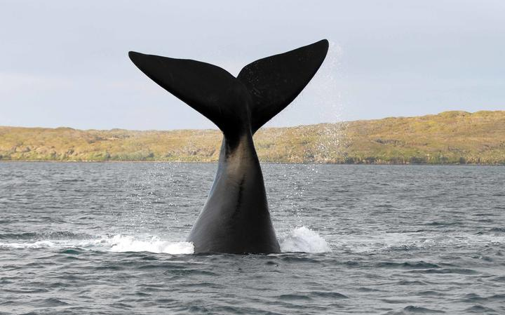 A southern right whale tail slapping in Port Ross, Auckland islands.