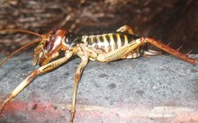 wellington tree weta