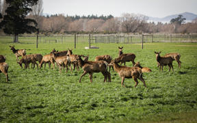 Venison farmers deal with Covid-19 fall out