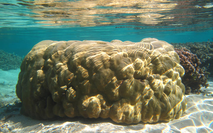 Porites lutea is a stony coral that can grow into large mounds which are several metres diameter.