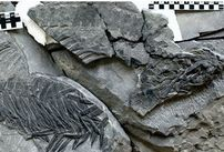 The fossil sheds new light on a 250-million year old mass extinction.