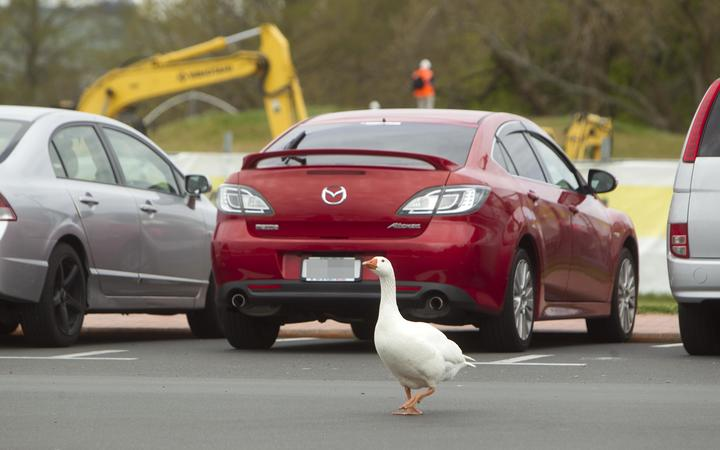 Geese have migrated away from the lakefront in Rotorua.