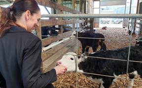 Jacinda Ardern feeds a calf at the Green Valley Dairy Company, Mangatawhiri. 23 September