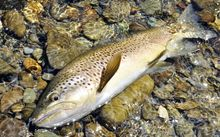NZ brown trout