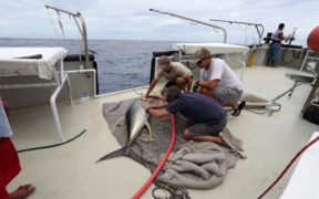 Large Yellowfin Tuna being tagged