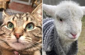 Coco the cat and Gladys the lamb - pets lost and found in Lake Ohau fire