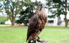 A photo of Tappe, a New Zealand falcon