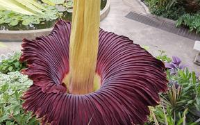 The Amorphophallus titanum, also known as the corpse flower, in full blossom at the Winter Garden in Auckland Domain.