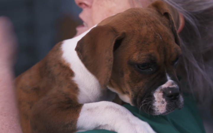 One of the boxer puppies looked after by James Roberts and Rachel Keith.