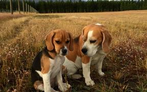 Bean, who turned out not to be purebred, with another beagle.