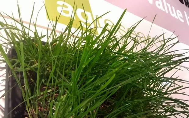 A ryegrass cultivar at the AgResearch stand at the 2015 Fieldays.
