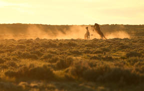 Dust flies as two stallions fight at sunrise.