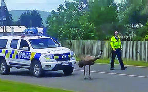 The emu, believed to be called Henry, is herded by a slightly bemused police officer.