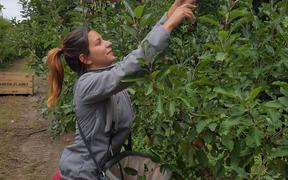 French backpacker Aurelia, 23, is picking apples for the first time.
