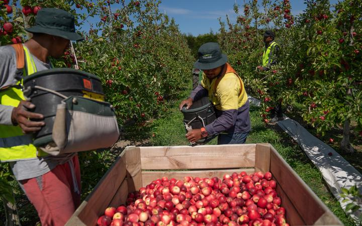 Govt to allow 2000 horticulture workers in from Pacific under strict conditions