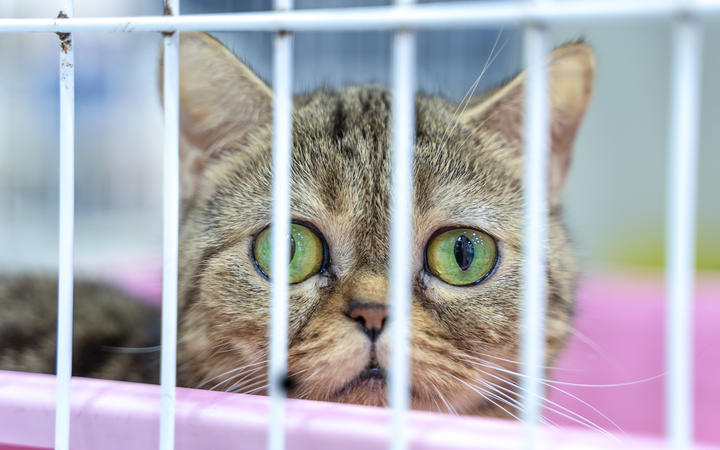 Closeup of one tabby kitten cat looking through a cage.