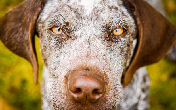 A liver-coloured German Shorthaired Pointer