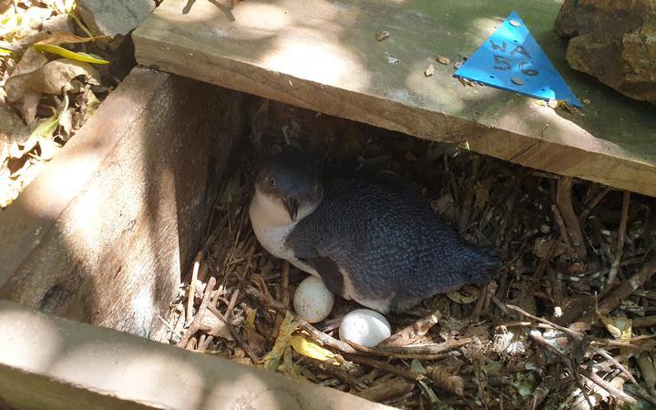 Little Blue Penguin in it's nesting box in Wellington.