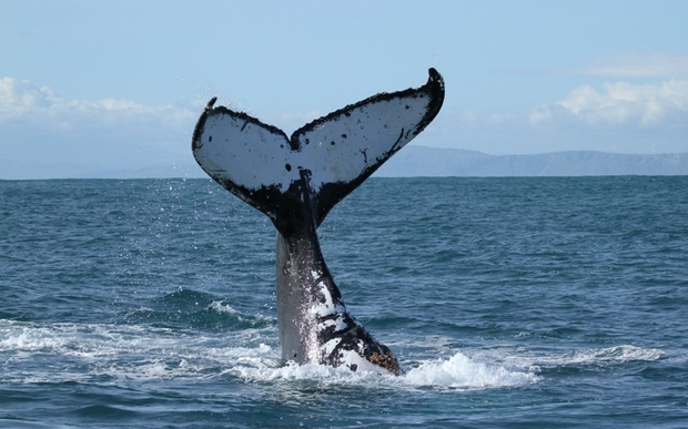 Almost all Niueans against whale watch tours - campaigner