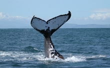 A photo of a humpback whale tail taken during an annual survey in the Cook Strait.