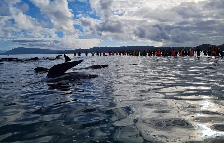 Pilot whales being refloated from the base of Farewell Spit in Golden Bay on Monday 22 February.