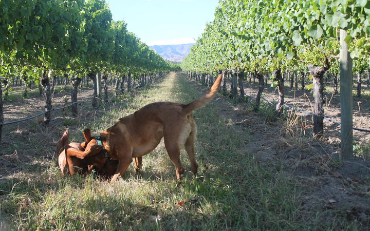 Te Whare Ra dogs at play in the vineyard